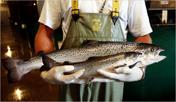Genetically modified salmon compared to a regular salmon is twice the size
